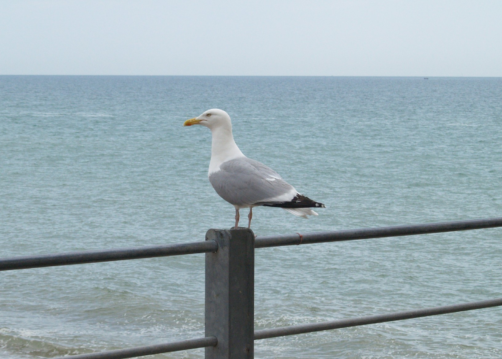 http://www.britgo.org/files/tournaments/eygc2014/seagull.jpg